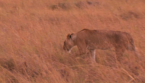 Lioness walks through tall grass Footage