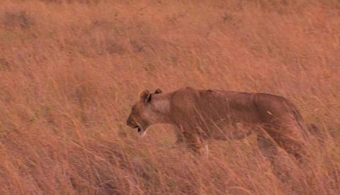 Lioness walks through tall grass Stock Video Footage