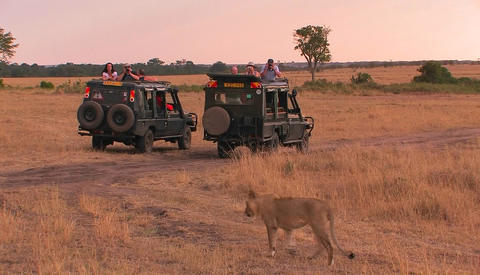 A lioness walks across a plain as observers sit in their vehicles and watch and take pictures Footage