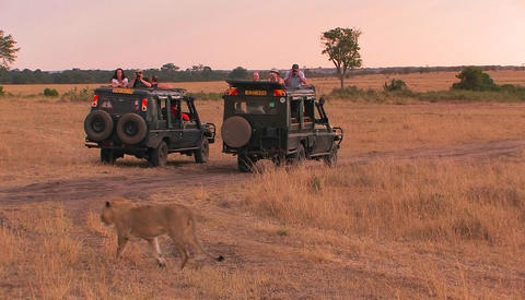 A lioness walks across a plain as observers sit in their... Stock Video Footage