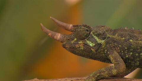 A horned chameleon rotating its eyes Stock Video Footage