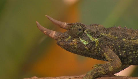 A horned chameleon rotating its eyes Footage