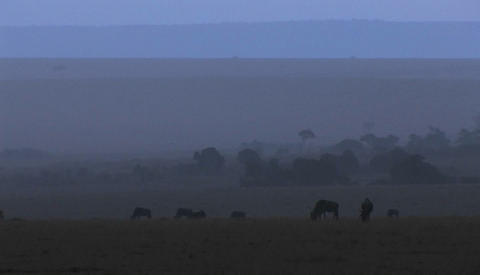 Wildebeests graze on the plains as the fog rolls in Stock Video Footage