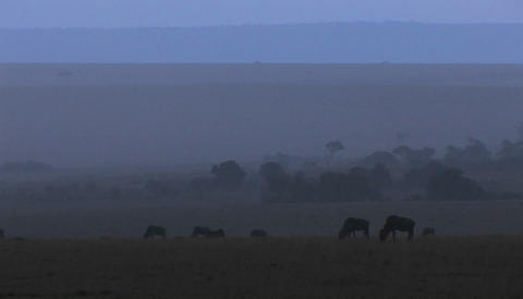 Wildebeests graze on the plains as the fog rolls in Footage