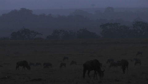 Wildebeests graze on the plains as night comes on Stock Video Footage