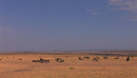 A small herd of wildebeest graze on a grassy plain Stock Video Footage