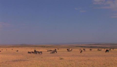 A small herd of wildebeest graze on a grassy plain Footage