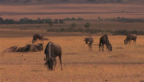 A herd of wildebeests graze and rest on the plain Stock Video Footage