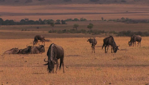 A herd of wildebeests graze and rest on the plain Footage