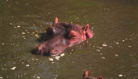 A hippopotamus sits up to his neck in water, flicking his... Stock Video Footage