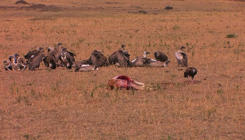 Vultures rest near the carcass of a half eaten animal Stock Video Footage