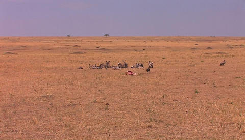 A group of vultures stand close to an animal carcass Stock Video Footage