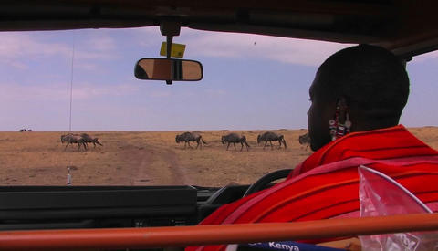 A Masai tribes-man waits in a vehicle for wildebeest to... Stock Video Footage