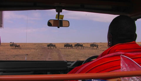 A Masai tribes-man waits in a vehicle for wildebeest to cross the road Footage