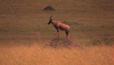 Chamois on a hill in savanna Footage