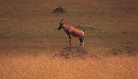 Chamois on a hill in savanna Stock Video Footage