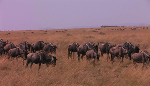 A herd of wildebeests are walking across a plain Footage