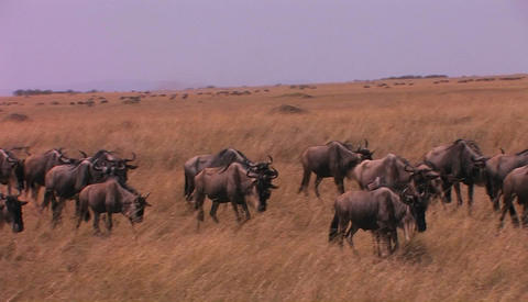 A herd of wildebeests are walking across a plain Stock Video Footage