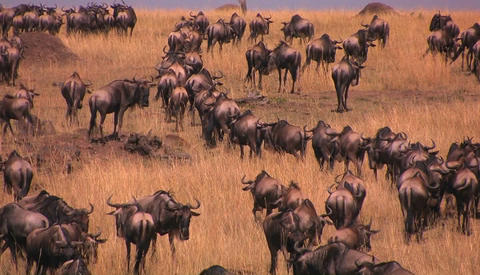 A herd of wildebeests stand or walk around on the plains Stock Video Footage