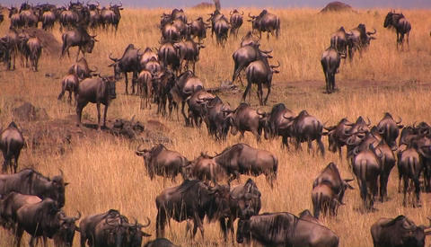A herd of wildebeests stand or walk around on the plains Footage