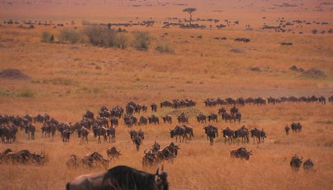 A large herd of wildebeest roam a grassy plain Footage