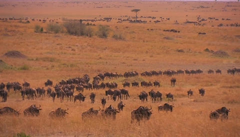 A large herd of wildebeest roam a grassy plain Stock Video Footage