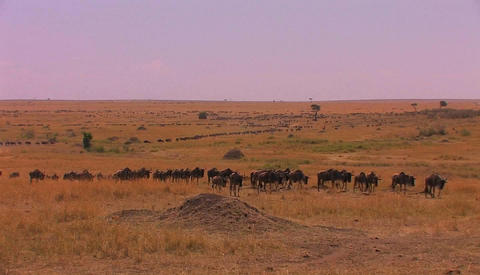 A long line of wildebeests travels across the plains Stock Video Footage