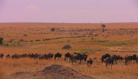 A long line of wildebeests travels across the plains Footage