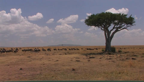 A herd of wildebeest roam an open plain Stock Video Footage