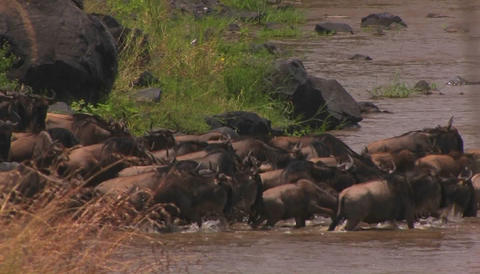 A herd of wildebeests all walk into the water Footage