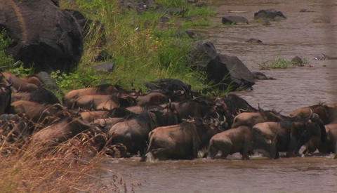 A herd of wildebeests all walk into the water Stock Video Footage