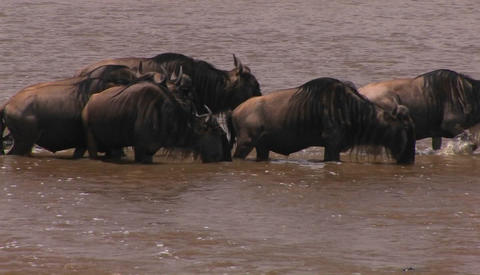 Some wildebeest stop for a drink while crossing a river Stock Video Footage