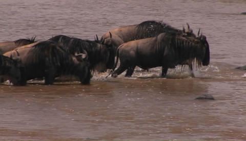 Some wildebeest stop for a drink while crossing a river Footage