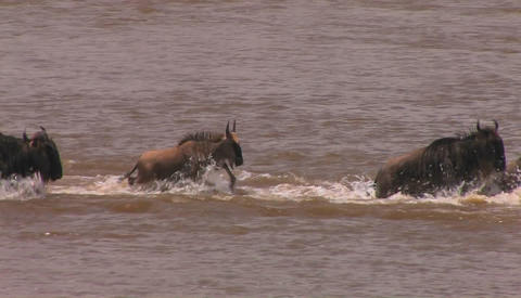 A herd of wildebeests run across a stream to the other side Footage
