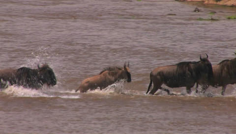 A herd of wildebeests run across a stream to the other side Stock Video Footage