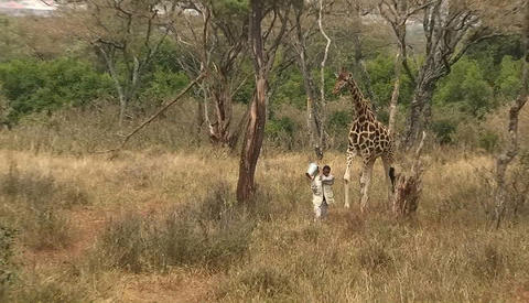 A man carrying a bucket and a giraffe walk together in... Stock Video Footage