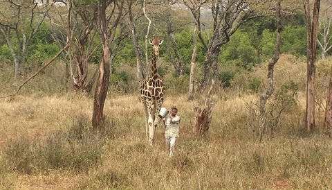 A man carrying a bucket and a giraffe walk together in the jungle Footage