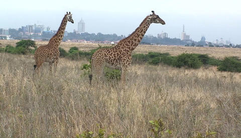 Giraffes standing and chewing in a grassy field Stock Video Footage