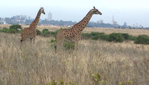 Giraffes standing and chewing in a grassy field Footage