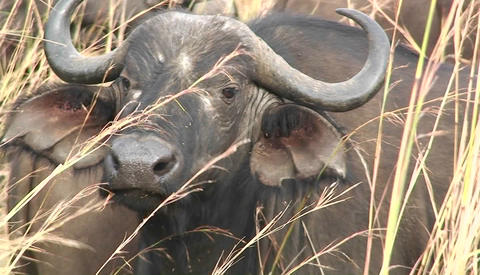 One buffalo sits in grass amongst a large herd Stock Video Footage