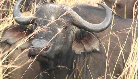One buffalo sits in grass amongst a large herd Footage