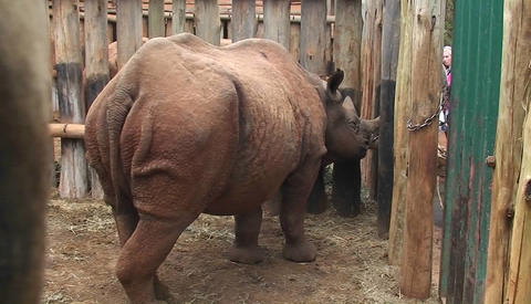 A caged rhino looks out beyond his bars Stock Video Footage