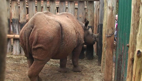 A caged rhino looks out beyond his bars Footage