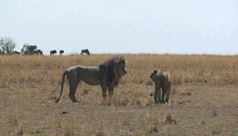 Lion and lioness looking around a grassy field Stock Video Footage