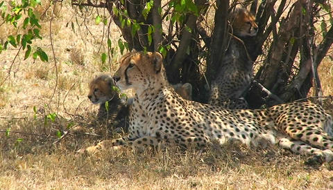 A cheetah and cubs enjoy shade under a bush Stock Video Footage