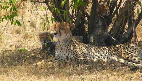 A cheetah and cubs enjoy shade under a bush Footage