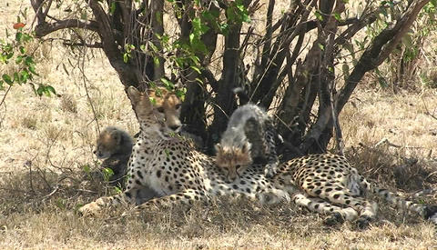 A leopard mother with cubs sits under a tree while the... Stock Video Footage