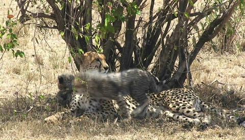 A leopard mother with cubs sits under a tree while the babies play Footage