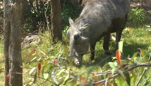 A warthog is eating grass in the forest Footage