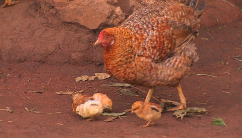 A group of baby chickens follow the mother hen around,... Stock Video Footage